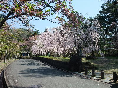 2014sakura02