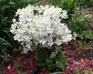 Primulamalacoides